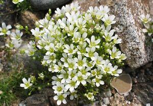 Arenaria-Sandwort-Seeds-Mountain-Sandwort-50-Seeds