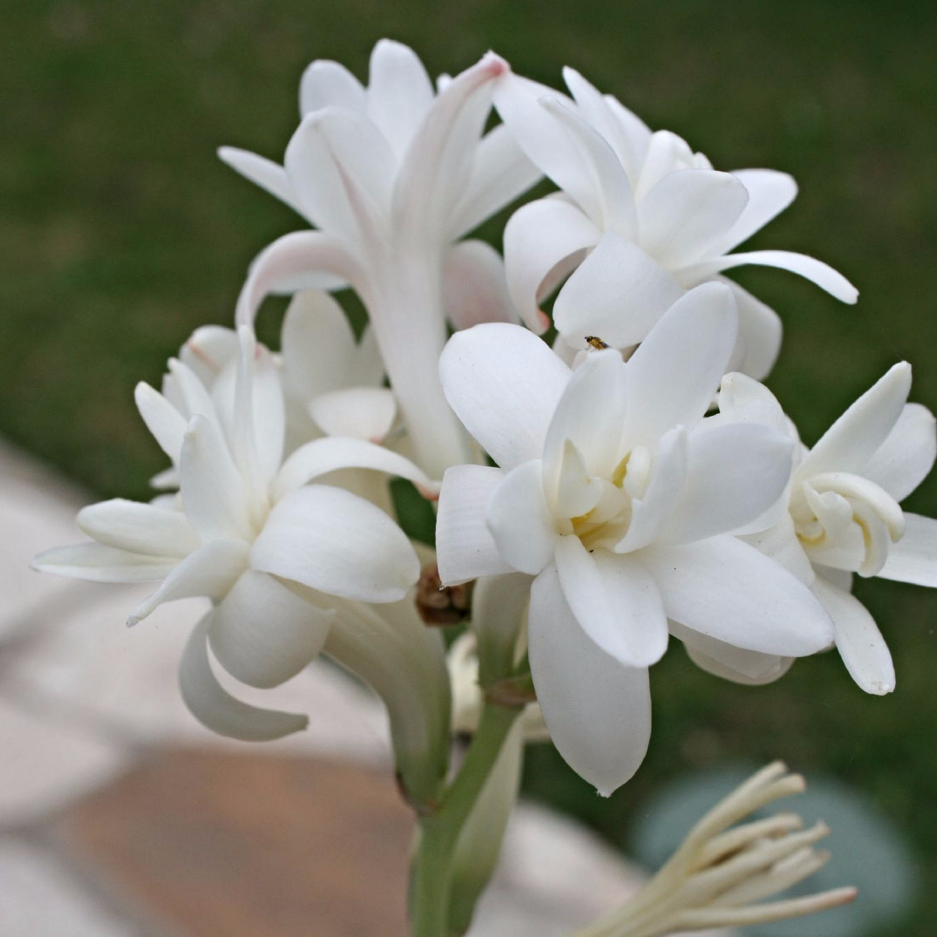 Perennial Polianthes Tuberose Super Gold Strong Bulbs Bonsai Roots  Beautifying
