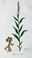 Polygala Senega Seneca Snakeroot Kreuzblumen Wurzel Root Samen Seed Blüte Blatt