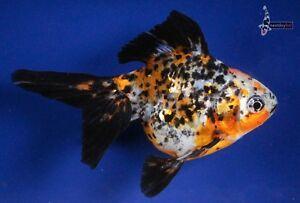 "4.5"" CALICO RYUKIN live goldfish for koi fish pond nextdaykoi NDK"