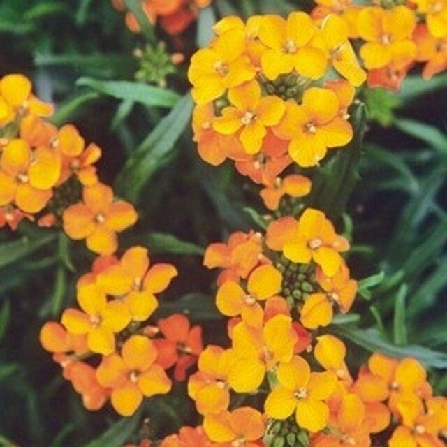 Wallflower- Siberian- 100 Seeds