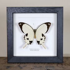 African Swallowtail Real Butterfly (Papilio dardanus) insect taxidermy