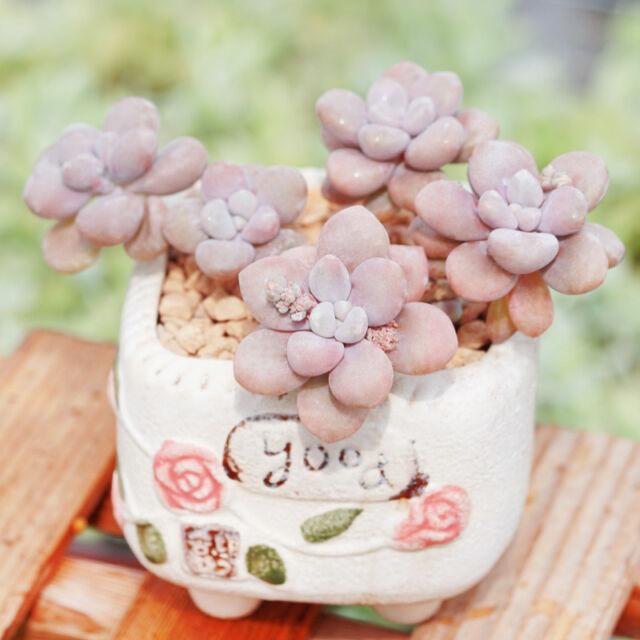 Succulent Live Plant - Graptopetalum sp('Ellen')4cm -Home Garden Rare Plant Gift