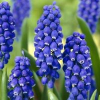 250 MUSCARI ARMENIACUM GRAPE HYACINTH BULBS / SPRING FLOWERING / PREMIUM QUALITY