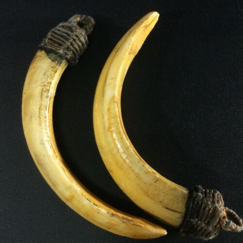 Real Wild BOAR 2 Teeth PIG Hog FANG Swine Thai Power Amulet Tooth Animal Pendant