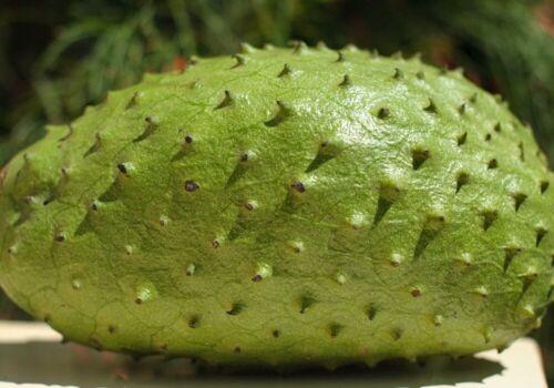 Tropical Fruit SOURSOP TREE Guanábana BIG TREE