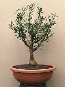 Bellissimi alberi pre bonsai di ulivo olivo di 8 anni for Bonsai da frutto vendita