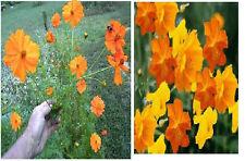 Orange Cosmos Annual Flower  Beautiful Large Blooms   35 Seeds
