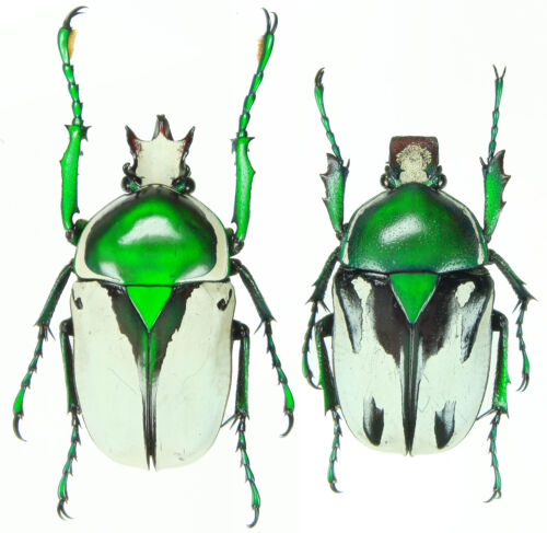 Ranzania bertolonii Tanzania Insect Pair 26~28mm ....!!