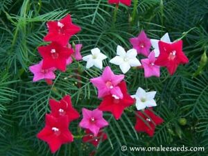 24 redwhitepink mixed cypress hummingbird vine seeds fern like image is loading 24 red white pink mixed cypress hummingbird vine mightylinksfo
