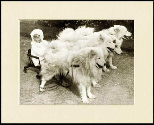 SAMOYED LITTLE GIRL AND SLED TEAM LOVELY OLD STYLE IMAGE DOG PRINT READY MOUNTED