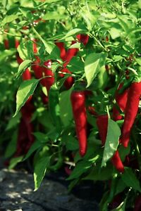 Cayenne-Large-Red-Thick-Pepper-Seeds-NON-GMO-Variety-Sizes-Sold-FREE-SHIP