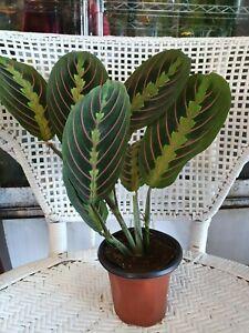 Red-Prayer-Plant-Maranta-Easy-to-Grow-House-Plant-4-034-Pot-Live-Plant