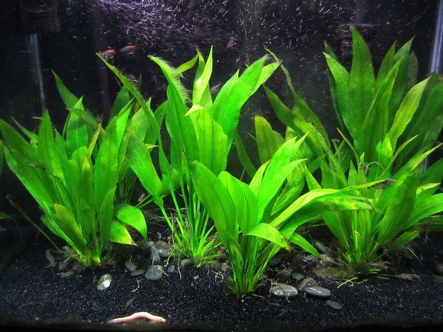 Amazon Sword in a Planted Tank