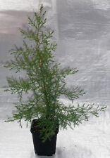 Kashmir Cypress, Cupressus Cashmeriana  Conifer Tree. 40 - 60cm inc. Pot X 2