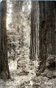 Muir Woods National Monument California RPPC Postcard 1962 Giant Redwoods LA