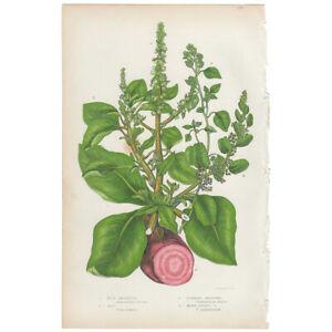 Anne Pratt Flowering Plants antique 1860 botanical print, Pl 175 Beet