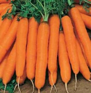 Carrot Vegetable Plant Seeds Summer Outdoor Patio Organic EU Standard UK - Leicester, United Kingdom - Carrot Vegetable Plant Seeds Summer Outdoor Patio Organic EU Standard UK - Leicester, United Kingdom