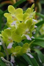 1 blühfähige Orchidee der Sorte: Ascocenda, aufgebunden, Blüte klein, duftend