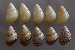 Polychromatic series of Chrysallis fischeri, 30 - 36 mm