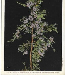 Postcard - Cedar Berries - Yellowstone. Unposted. J E Haynes