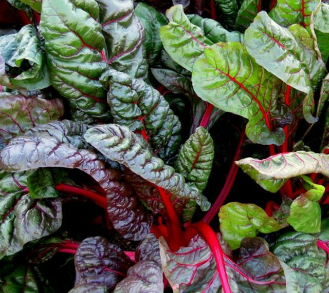 JUMBO PACK 1,500 Ruby Red Swiss Chard seeds. ***SAME DAY SHIPPING***