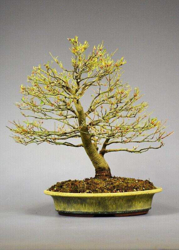 Outdoor Bonsai -  Japanischer Fächer Ahorn - Acer palmatum   kiyohime     19074