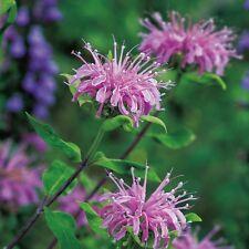 Bergamot Wild - Monarda fistulosa - 1000 Seeds