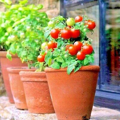 Vegetable Garden Balcony Bonsai Vegetable Plant Cherry Tomato Seeds WST 01