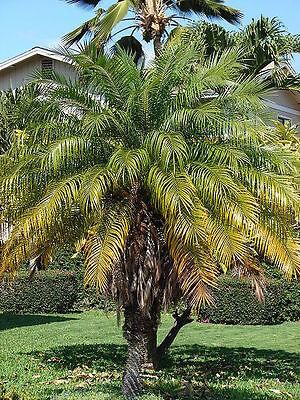 50 Seeds - Pygmy / Miniature Date Palm - Phoenix roebelenii