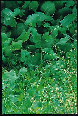 Herb - Suffolk Herbs - French Sorrel Seed - Rumex scutatus - Pictorial Packet