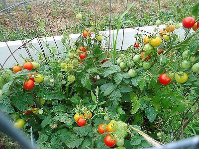 Heirloom Tomato Plants 2 To 4 Live