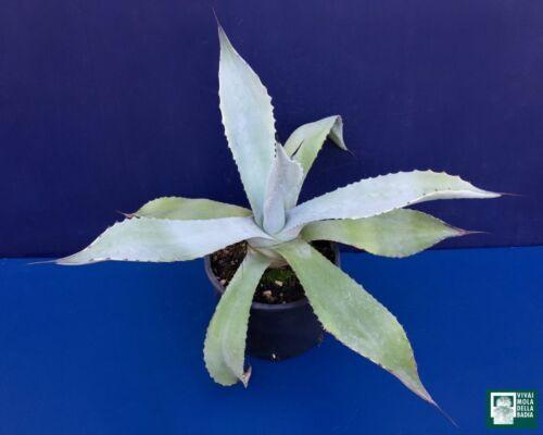 AGAVE SCABRA Vaso 12 cm 1 Pianta 1 Plant Succulent
