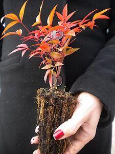 Image Is Loading NANDINA DOMESTICA  Alveolo Bambu Sacro Arbusto Sacred Heavenly