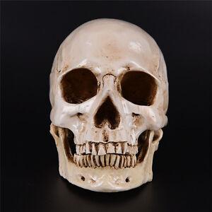 Humano cráneo Replica resina modelo médico realista LifeSize 1:1 nuevo