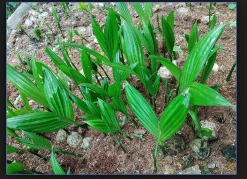 A SEEDLING ARECA CATECHU BETEL NUT PALM FRESH READY PLANT VIABLE BING LANG