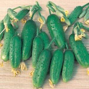 Cucumber Russian Seeds KUZYA F1