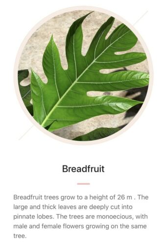 Big tree 1'-2' panapen Variety GRAFTED BREADFRUIT Live Tree