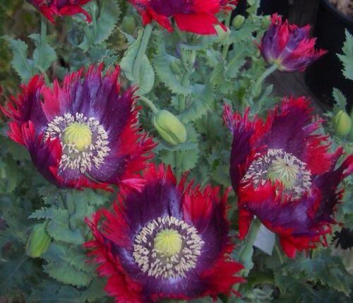 "Perennials /""Fragrant Stargazer Oriental Lily Mix/""  New Flower Bulbs 5"
