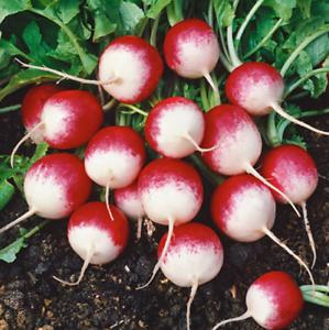 20-RADISH-Sparkler-Seeds-NON-GMO-Fresh-Vegetable-Garden-US-SELLER