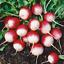 20-RADISH-Sparkler-Seeds-NON-GMO-Fresh-Vegetable-Garden-US-SELLER thumbnail 1
