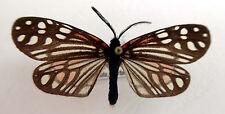 day flying moth, Campylotes maculosa from Taiwan, China,very rare n219a