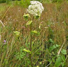 Wildflower Seeds - Wild Angelica - 250 Seeds