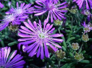 50-ICE-PLANT-FLOWER-SEEDS-PERENNIAL-DELOSPERMA-COOPERII