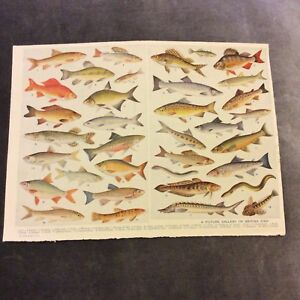 Vintage-Book-Print-Picture-Gallery-of-British-Fish
