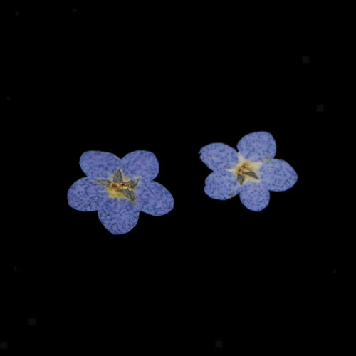 10pcs Pressed Dried Flowers Forget Me Not for Scrapbooking Embellishment