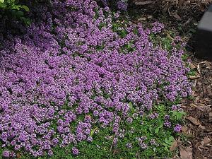 Purple Creeping Thyme Herb Plant 1 Live Starter Plant