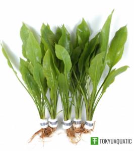 Amazon-Sword-Echinodorus-Bleheri-Live-Aquarium-Plants-Decorations-Bundle-Rooted