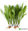 Amazon-Sword-Echinodorus-Bleheri-Live-Aquarium-Plants-Decorations-Bundle-Rooted thumbnail 1