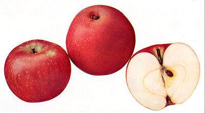 1905 vintage FANNY APPLES original early off-set botanical print